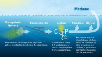 The new study determined that much of the ocean's dissolved organic matter is made up of novel polysaccharides — long chains of sugar molecules created by photosynthetic bacteria in the upper ocean. Bacteria begin to slowly break these polysaccharides, tearing out pairs of carbon and phosphorus atoms from their molecular structure. In the process, the microbes create methane, ethylene, and propylene gasses as byproducts. Most of the methane escapes back into the atmosphere.Graphic courtesy of Eric Taylor, Woods Hole Oceanographic Institution