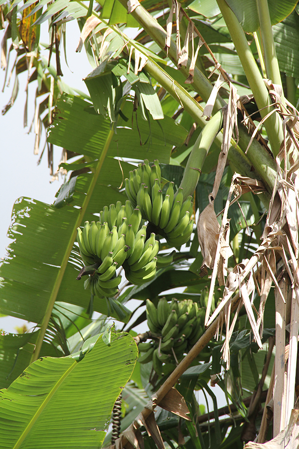Mai'a, or banana tree, at NTBG's Canoe Garden.