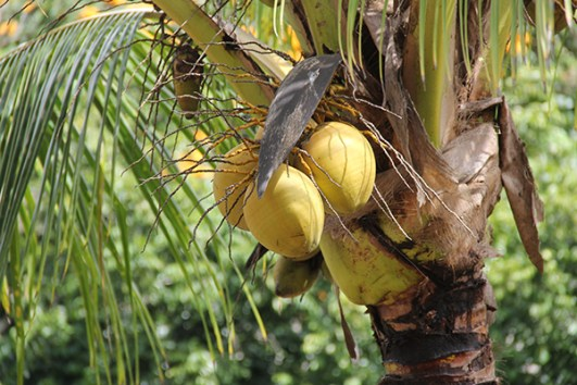 Niu, or coconut, at NTBG's Canoe Plant Garden. Photo by Léo Azambuja