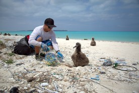 NOAA staff cleaning the beach near an albatross chick, Midway Atoll, 2017. Photo by NOAA