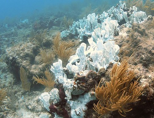 UH Study: Climate Change Could Kill Coral Reefs by 2100