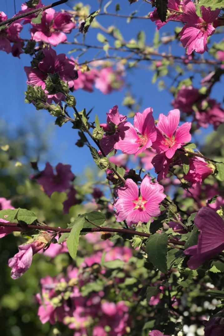 Pink summer flowers with green leaves with a blue sky.