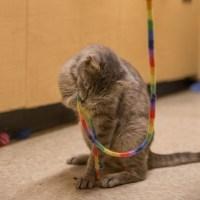 gray tabby cat playing with rainbow string for kitty's sake adoptable glassboro nj
