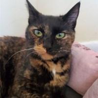 tortoiseshell cat tortie for kitty's sake adoption