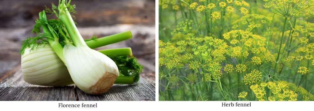 "佛羅倫薩茴香vs香草茴香"" width ="" 900"" height ="" 319"" srcset ="" https://i2.wp.com/www.forksoverknives.com/wp-content/uploads/Florence-fennel-vs-herb-fennel-1.jpg?w=1080&ssl=1 2021w, https://www.forksoverknives.com/wp-content/uploads/Florence-fennel-vs-herb-fennel-1-1536x544.jpg 1536w"" size =""(最大寬度:900像素)100vw,900像素"