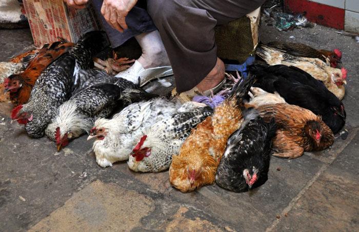 Fez Morocco chickens