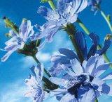 Plantele toamnei: CICOAREA