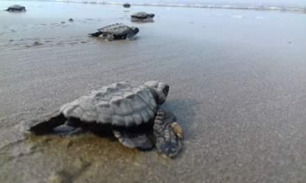 Aumenta arribazon de Tortugas