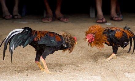 Niega gobierno municipal participación del DIF en evento de gallos a celebrarse en PALENQUE LEYENDA
