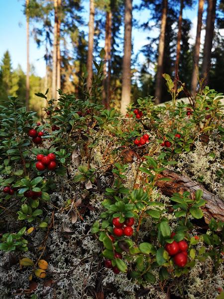 I Hälsinglands skog finns massor av lingon
