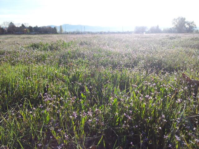 Field of Weeds with Purple Blossoms