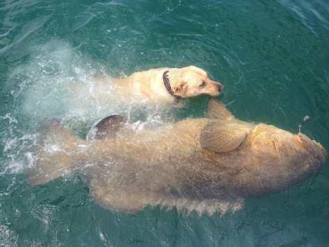 400 lb. + Goliath Grouper, Hank, Yellow Lab, April 28, Fort Myers Fishing Charters & Fort Myers Fishing Report.
