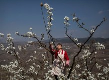 HANYUAN, CHINA -MARCH 25: Chinese farmer He Meixia, 26, pollinates a pear tree by hand on March 25, 2016 in Hanyuan County, Sichuan province, China. Heavy pesticide use on fruit trees in the area caused a severe decline in wild bee populations, and trees are now pollinated by hand in order to produce better fruit. Farmers pollinate the pear blossom individually. Hanyuan County describes itself as the 'world's pear capital', but the long-term viability of hand pollination is being challenged by rising labor costs and declining fruit yields. A recent United Nations biodiversity report warned that populations of bees, butterflies, and other pollinating species could face extinction due to habitat loss, pollution, pesticides, and climate change. It noted that animal pollination is responsible for 5-8% of global agricultural production, meaning declines pose potential risks to the world's major crops and food supply. (Photo by Kevin Frayer/Getty Images)
