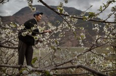 HANYUAN, CHINA - MARCH 26: A Chinese farmer climbs in a pear tree as he pollinates the flowers by hand at a farm on March 26, 2016 in Hanyuan County, Sichuan province, China. Heavy pesticide use on fruit trees in the area caused a severe decline in wild bee populations, and trees are now pollinated by hand in order to produce better fruit. Farmers pollinate the pear blossom individually. Hanyuan County describes itself as the 'world's pear capital', but the long-term viability of hand pollination is being challenged by rising labor costs and declining fruit yields. A recent United Nations biodiversity report warned that populations of bees, butterflies, and other pollinating species could face extinction due to habitat loss, pollution, pesticides, and climate change. It noted that animal pollination is responsible for 5-8% of global agricultural production, meaning declines pose potential risks to the world's major crops and food supply. (Photo by Kevin Frayer/Getty Images)