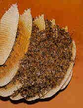 Nella costruzione, regolare delle celle, le api percepiscono il campo gravitazionale e il campo magnetico terrestre. In natura le api costruiscono i favi in serie parallele secondo una direzione costante, questo modo di costruire sembra per l'influenza del campo magnetico terrestre.