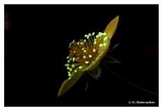 Anemone ranunculoides FL - Stockholm SE (Leitz 1X) DSC06209-78