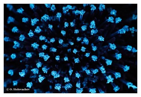 Carduus sp FL - Stockholm SE (Minolta 100) DSC03940