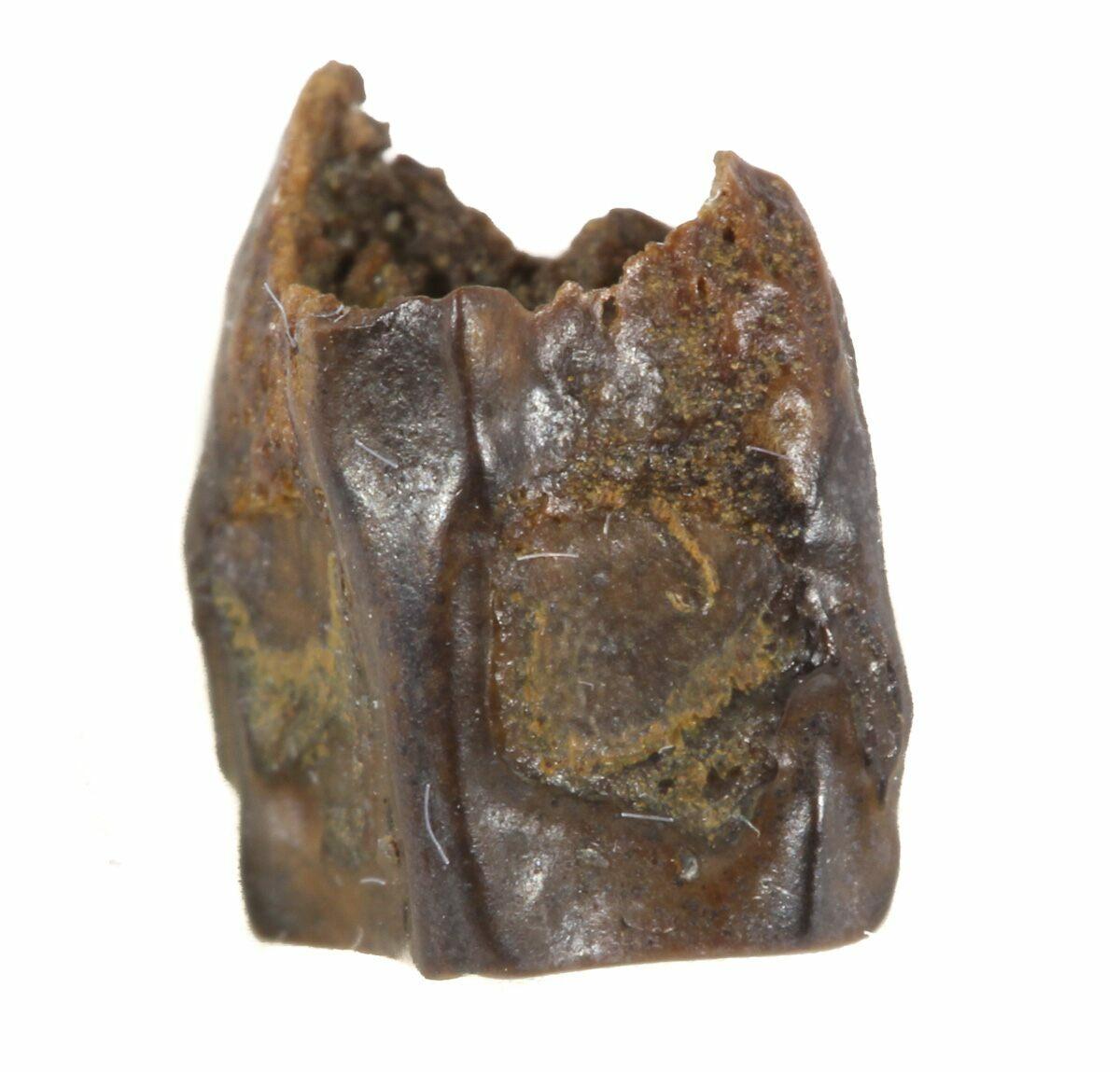 Dinosaur Petrified Billed Duck
