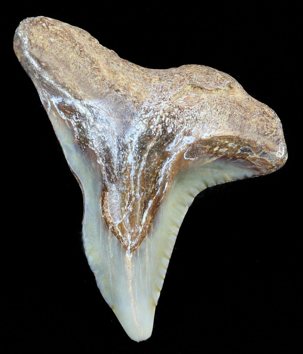 Colorful 1 28 Hemipristis Shark Tooth Fossil