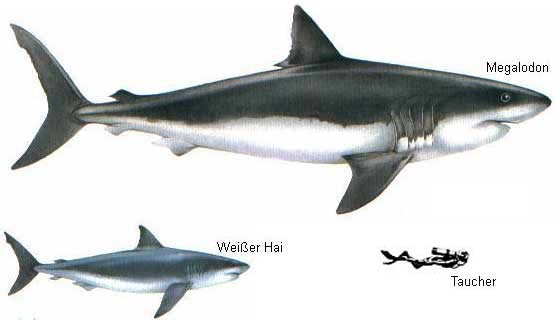 Megalodon, great white shark, and diver