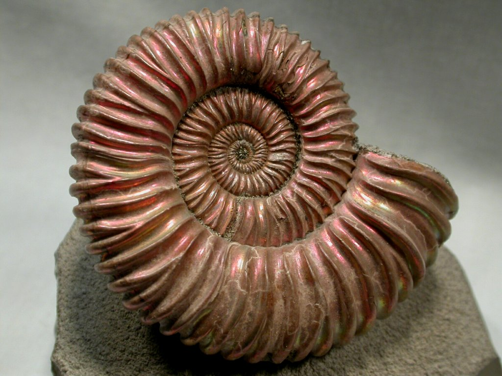 https://i2.wp.com/www.fossilmuseum.net/Fossil-Pictures/Ammonites/Ammonite-5/Ammonite-5-1024.jpg