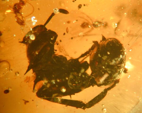 Leaf cutter ant in Colombian amber