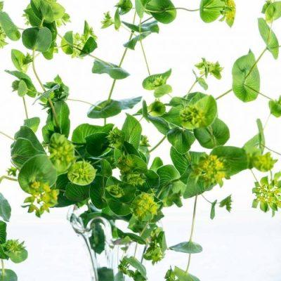 Bupleurum flowers and leaves