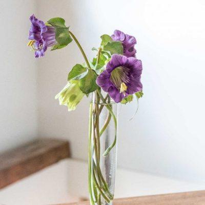 Violet Cobea flowers