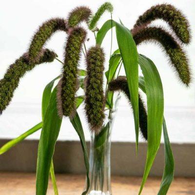 Millet seedheads