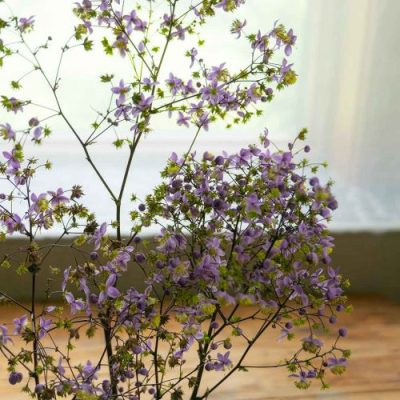Meadow Rue flowers