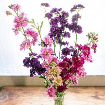 Matthiola - Stock flowers