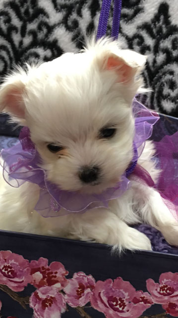 Fosters Maltese – Maltese Puppies for Sale