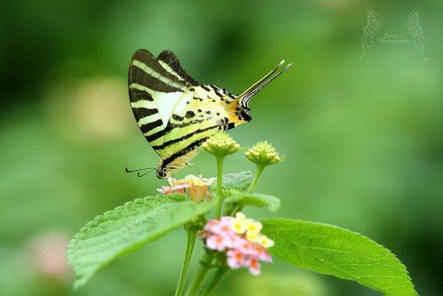 綠鳳蝶 Pathysa antiphates (Five-bar Swordtail)