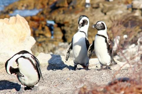Wilfr-Pinguine IMG_1883aa