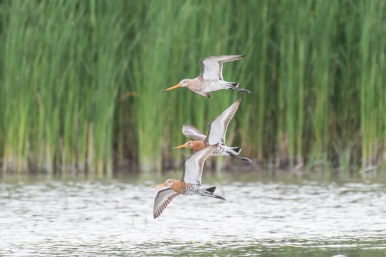 Portfolio-Moni-Uferschnepfen