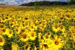 Sommer Wilfried Sonnenblume Woerthsee 2