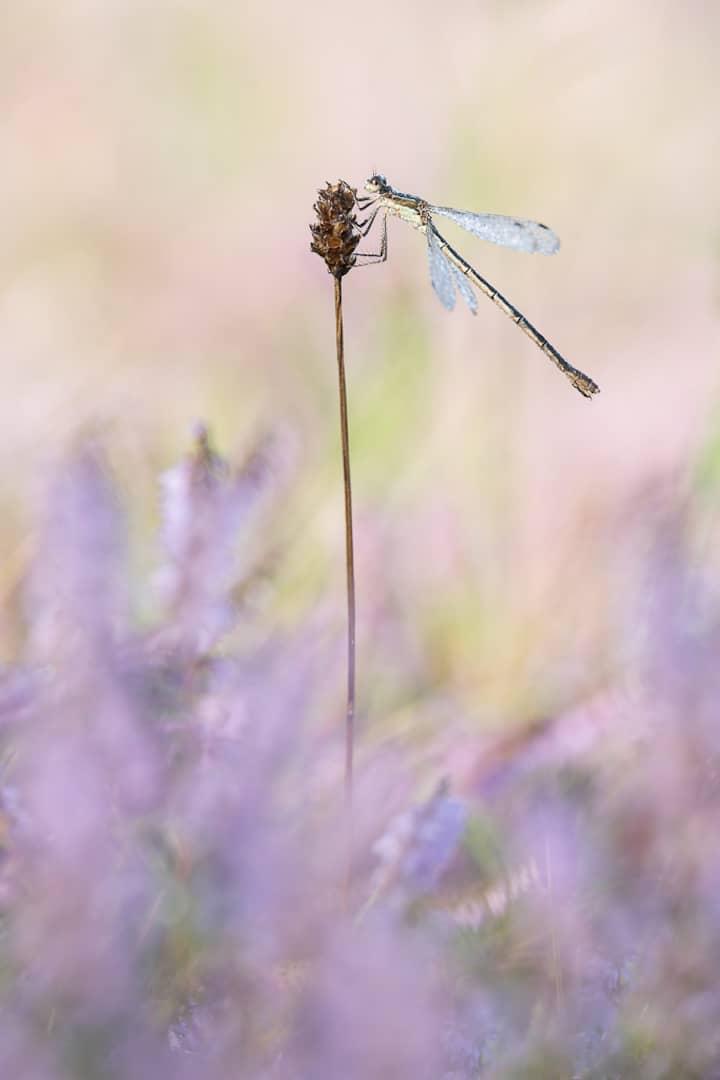 Dragonfly among heather - Annahme - Torsten Christ