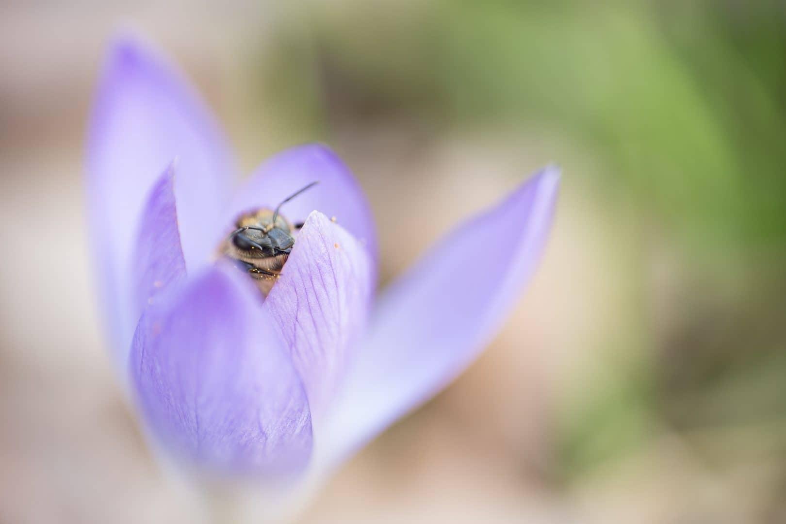 Pollensammlerin - von Torsten Christ