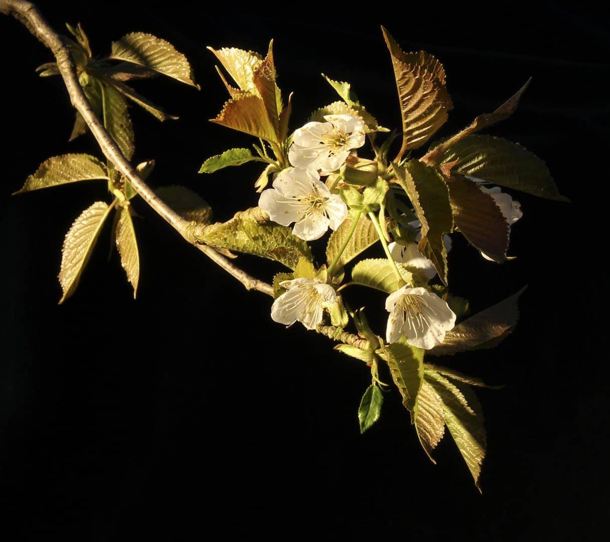 Kirschblüte - von Günther Holzinger