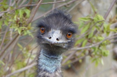 Hochwildschutzpark Rheinböllen - Emu @Gabi Allard