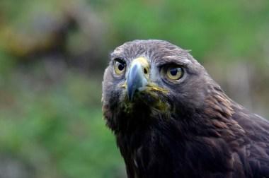 Hochwildschutzpark Rheinböllen - Greifvogel @Stefan Jankowski