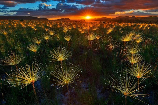 Paepalanthus at sunset