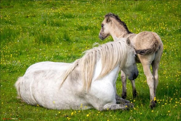 Glückliche Pferde - Schottland