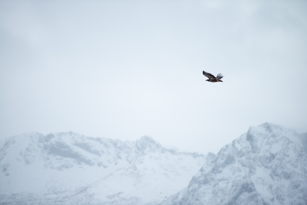 Zee-arend boven de Lofoten
