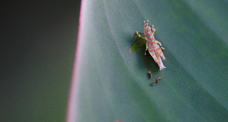 Figura 5: Engana-se quem acredita que uma imagem como a desse pequeno gafanhoto (ordem Orthoptera), menor do que 1 cm, é facilmente encontrada. Um olhar despercebido pela mata ignora a presença desse tipo de animal e o fotógrafo deve procurar imagens com minúcia.
