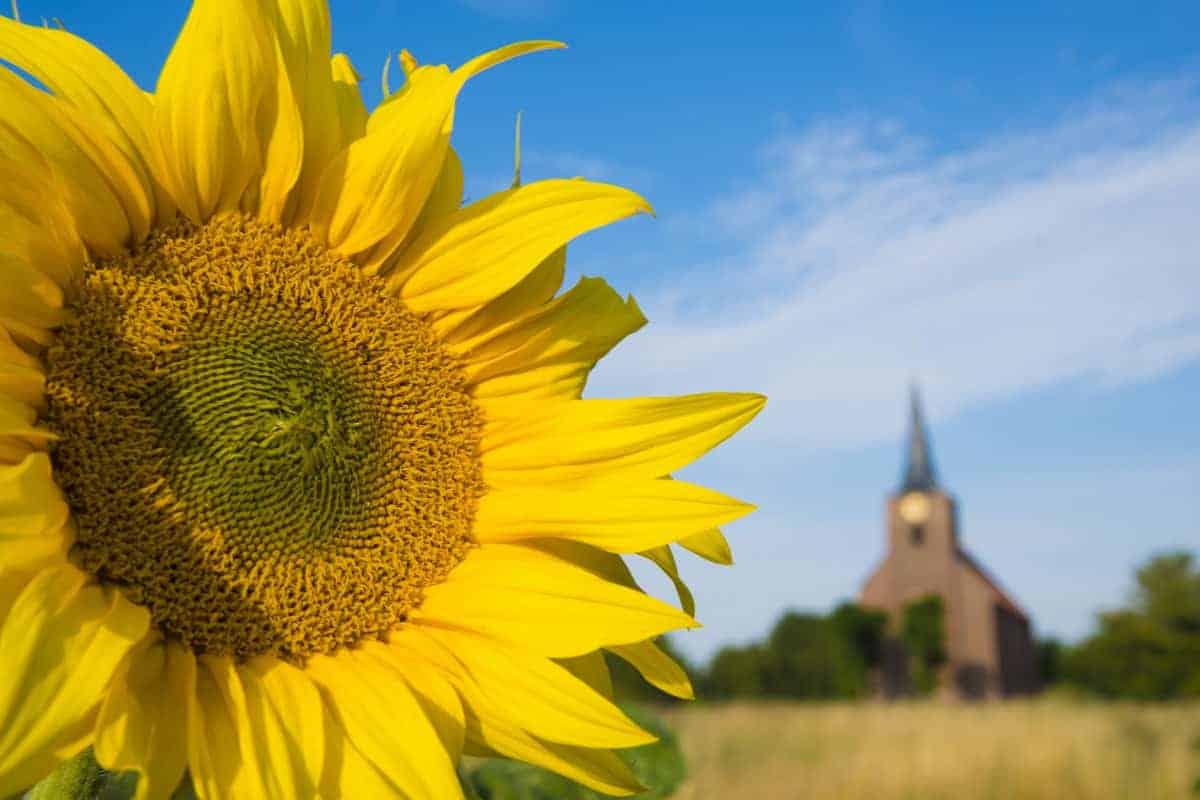 Zonnebloemen bij kerkje van Heveskes - Fotografiereis Groninger Waddenkust