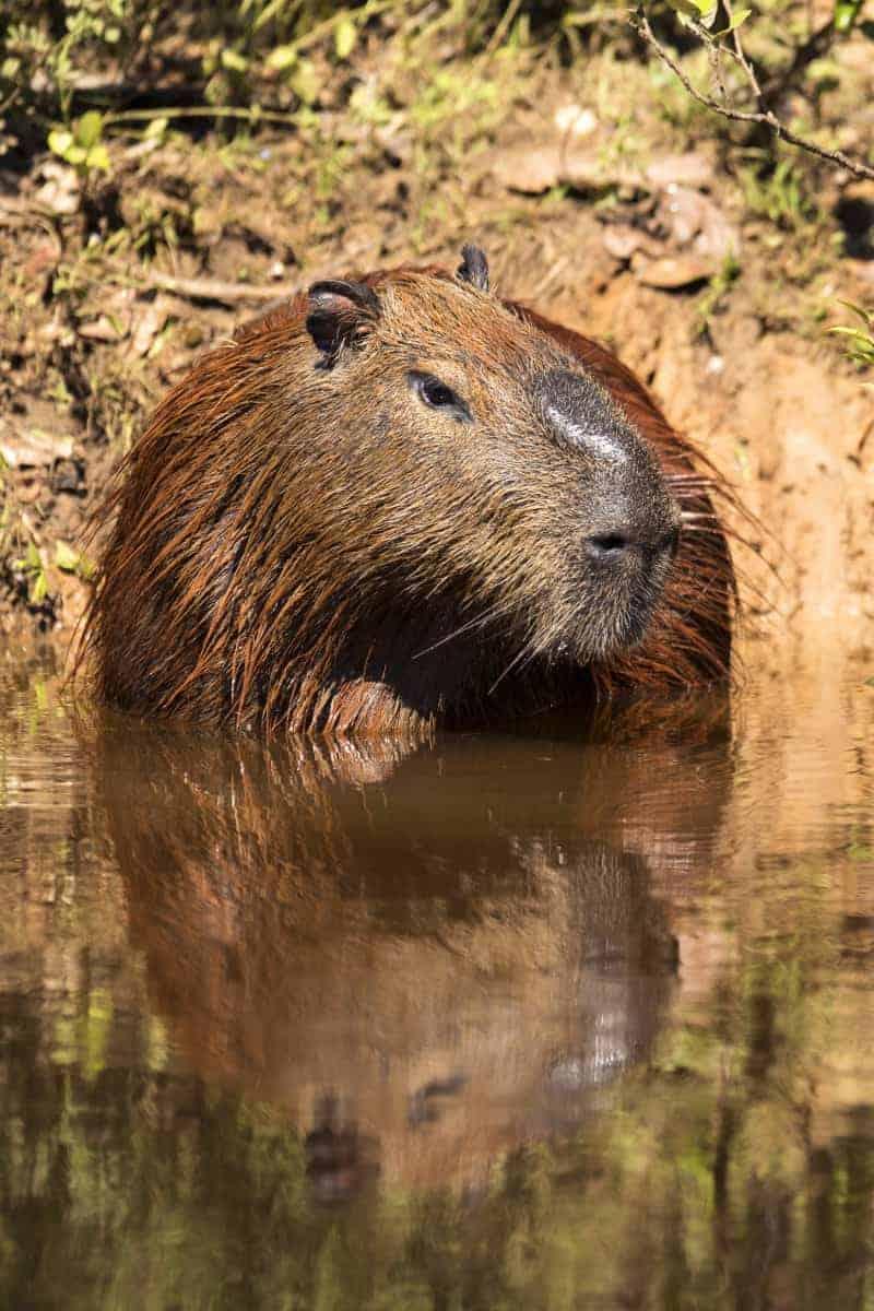 Capibari langs de waterkant tijdens de fotoreis Brazilië.