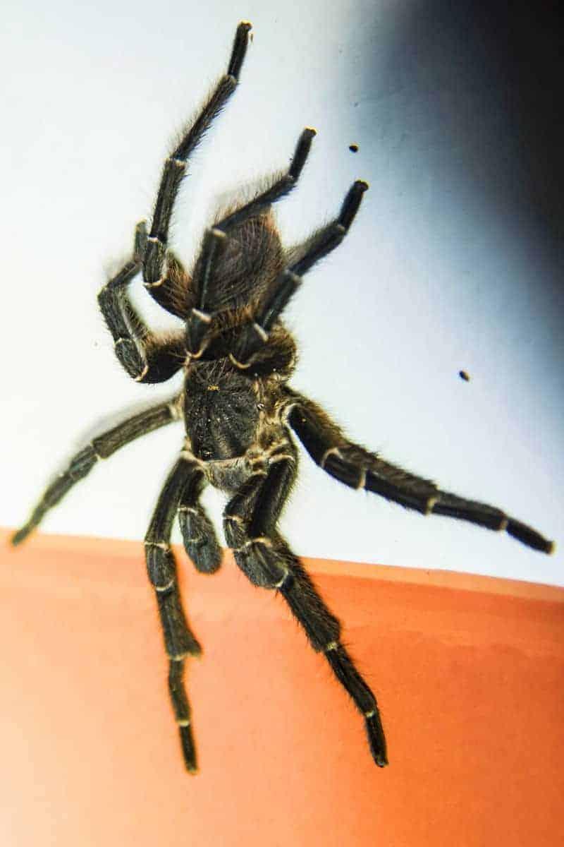 Tarantula of vogelspin tijdens de fotoreis Brazilië gefotografeerd.