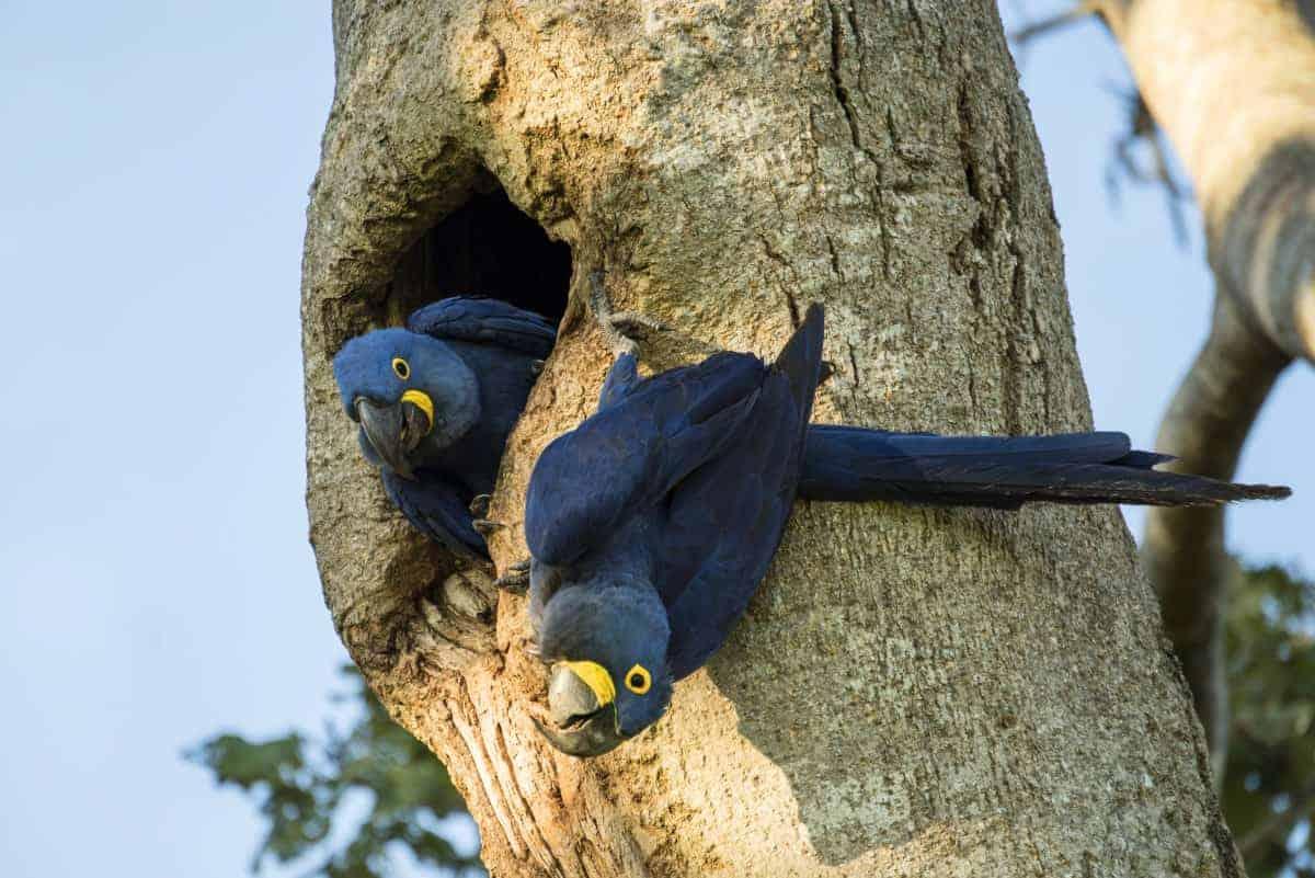 Blauwe parkieten tijdens de fotografiereis naar Pantanal