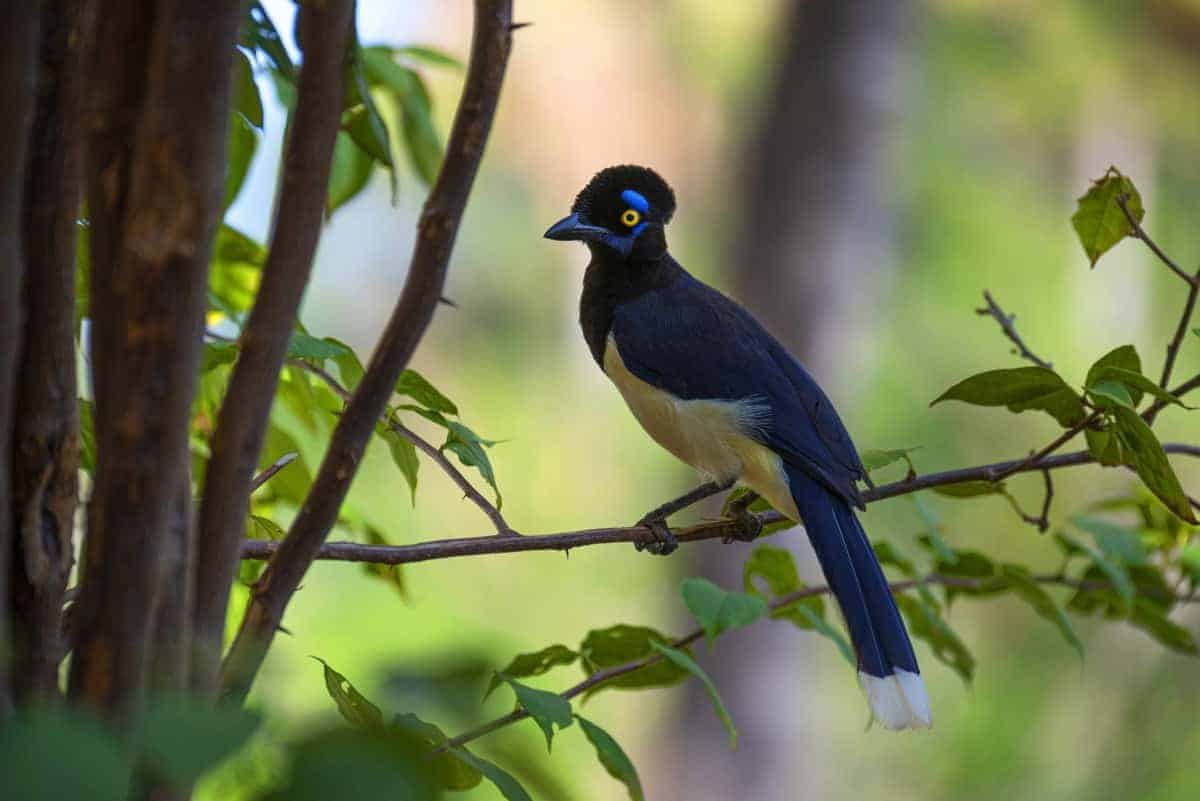 Blauwe vogel in Pantanal